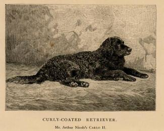 The Curly Coat Retriever taking a well earned rest